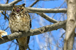 Title: Great horned Owl