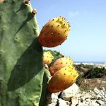 Title: The Maltese Prickly Pear