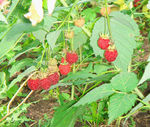 Title: Raspberries