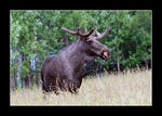 Title: Moose - Alces Alcesnikon D 200