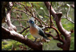 Title: Crested Coua