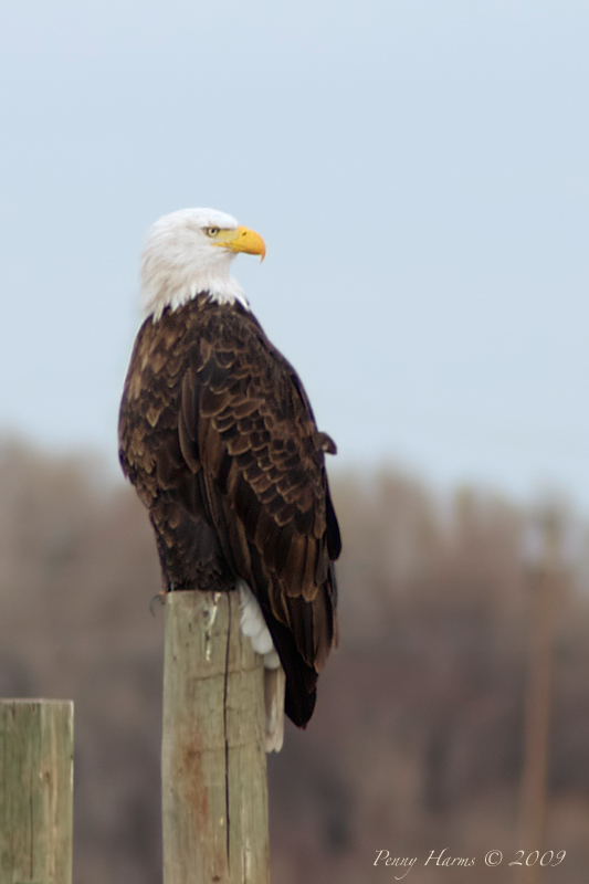 My First Bald Eagle