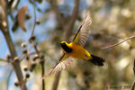 Title: Hooded Oriole