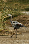Title: Great Blue Heron 2