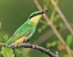 Title: Little Bee-eater