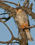 Title: Eastern red-footed Kestrel
