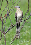 Title: Great Spotted cuckoo