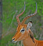 Title: Impala and Oxpecker
