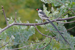 Title: Pintailed Whydah