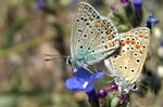 Title: Mating Butterflies (NO:18)