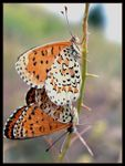 Title: Mating Butterflies (NO:20)