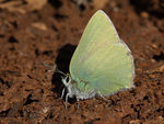 Title: Callophrys paulae