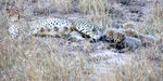 Title: Cheetah with Cubs