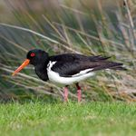 Title: Oyster Catcher