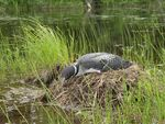 Title: Common loon brooding her eggs