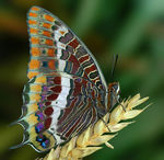Title: Charaxes jasius Camera: Nikon D70