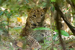 Title: Leopard cub waiting for its mother