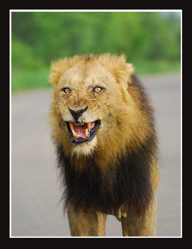 the true nature of a lion