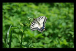 Title: machaon butterfly