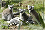 Title: Ringtail Lemurs Sunning or Protecting?