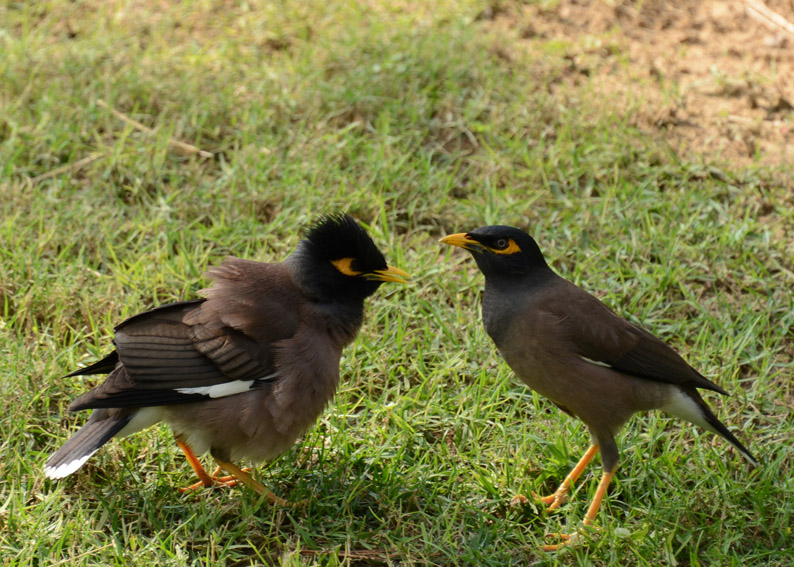Common Myna Fight