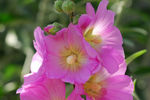 Title: Mallow Rose