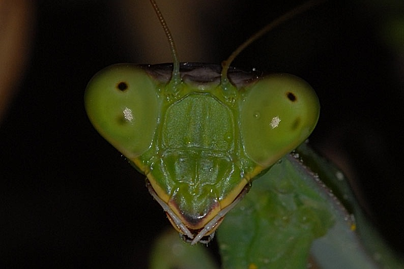 Mantis Face