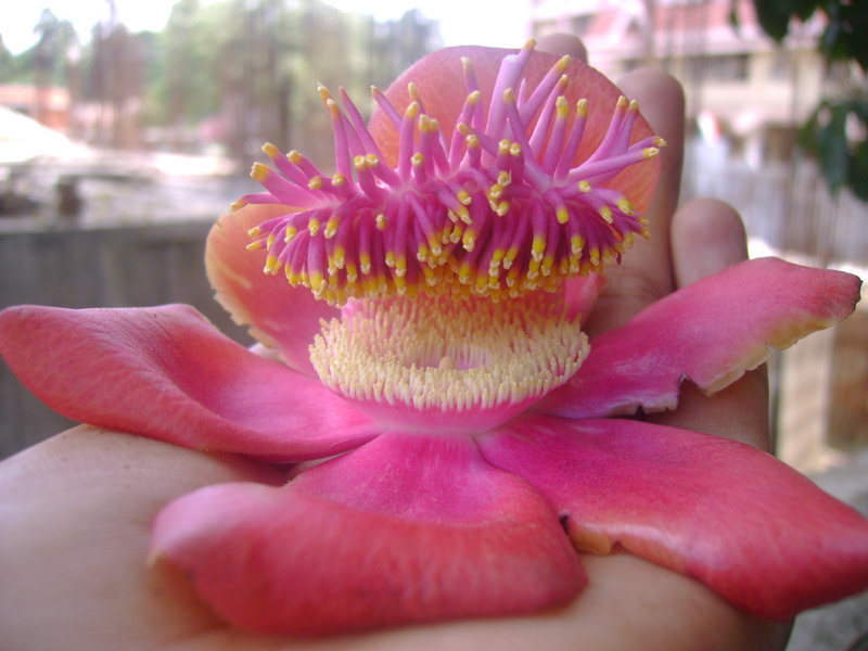 the flower so called nagapushpam