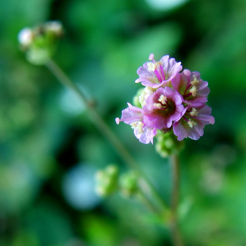 research papers on boerhavia diffusa