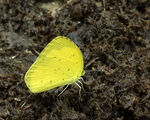 Title: Eurema hecabe