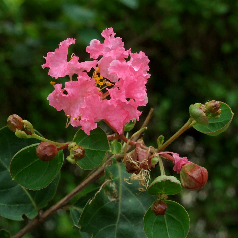 Lagerstroemia indica (pink)