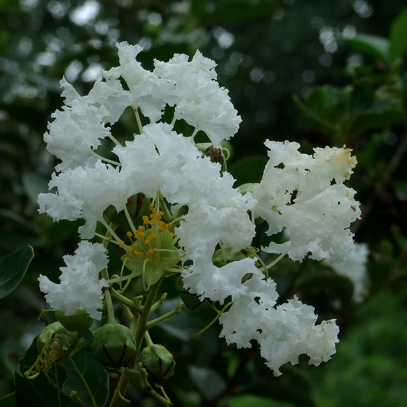 Lagerstroemia indica (white)