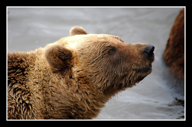 The Brown Bear / Oso Pardo