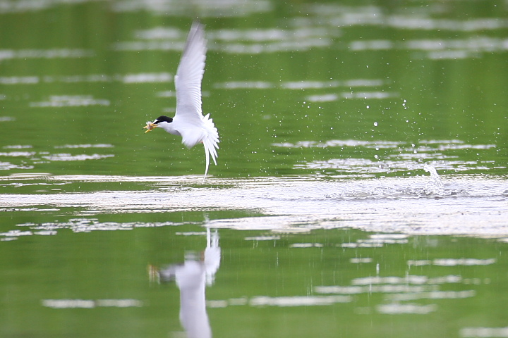Little tern in fresh green