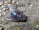 Title: Blue bottle fly (Calliphoridae)