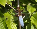 Title: Broad-bodied Chaser, male