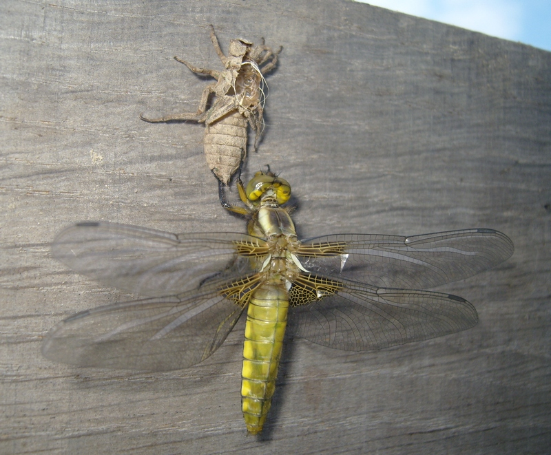 Broad-bodied Chaser (Young female)