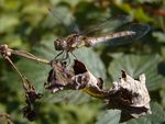 Title: Common Darter (female)