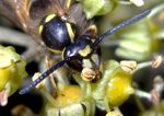 Title: Wasp (close-up)