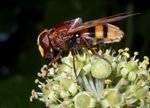 Title: Hornet Mimic Hoverfly