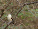 Title: Indian Silverbill