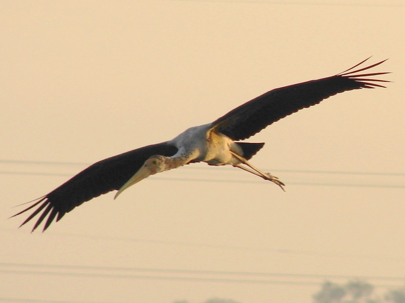 Hovering Painted Stork