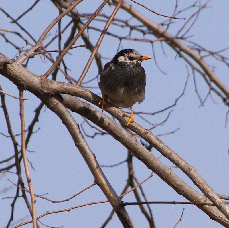 White Cheeked Starling