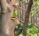 Title: Blue Throated Barbet