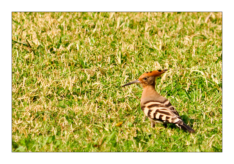 Hoopoe in Cairo