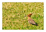 Title: Hoopoe in Cairo