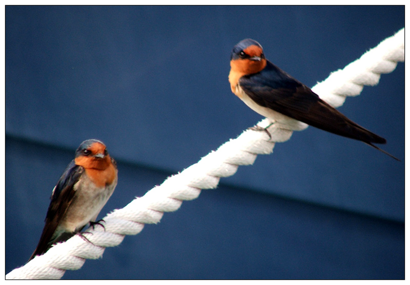 Two little swallows