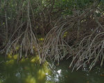 Title: Mangrove roots
