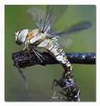 Title: Dragonfly emerging