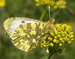Title: Eastern Orange Tip / FemaleOlympus C-7070 Wide Zoom